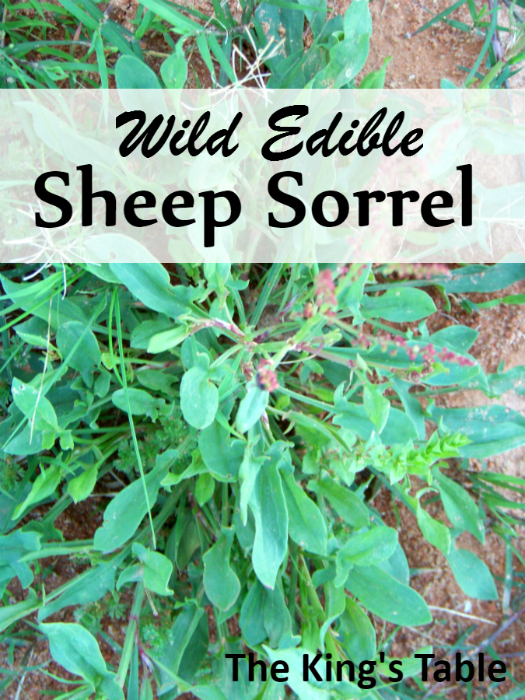 Wild Edible: Sheep Sorrel