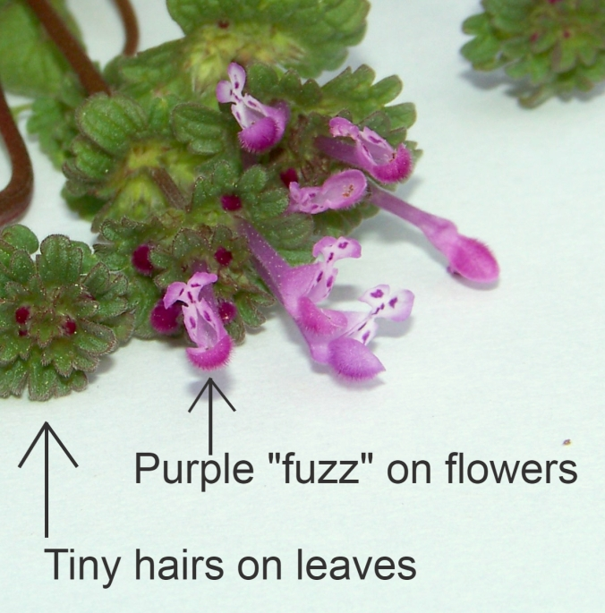 Henbit flowers | The King's Table