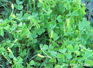 Wood Sorrel | The King's Table